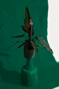 alocasia weplant